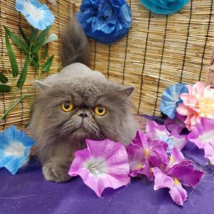ペルシャ猫 ライオンカット 🦁
