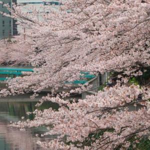 2020年の桜②