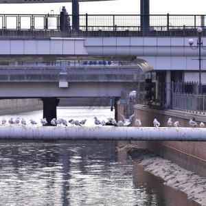 庄下川のユリカモメ、そろそろ旅立ちかなぁ。