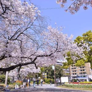 阪神尼崎駅前の桜が満開!