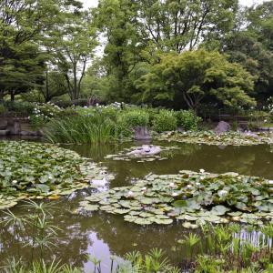 元浜緑地公園の、今度はハスの花!