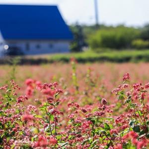 一面ピンク色の絨毯...アグリの里おいらせの赤蕎麦の花♪