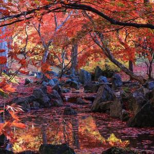 美しいレッドカーペット♪カッコーの森の紅葉2019
