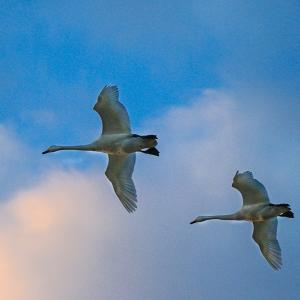 間木堤の白鳥