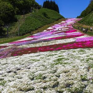 ゲレンデを埋め尽くす7万2千株の芝桜