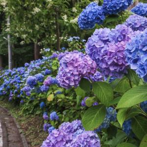長者山の紫陽花
