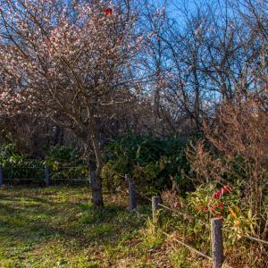 冬桜に託した想い!