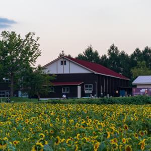 晩夏のひまわり畑