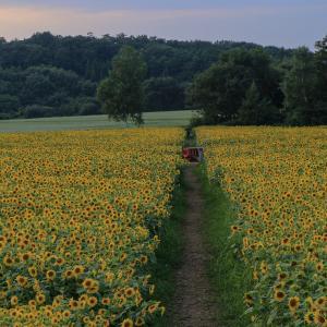 夏の風物詩...山の楽校の200万本のひまわり畑を堪能♪