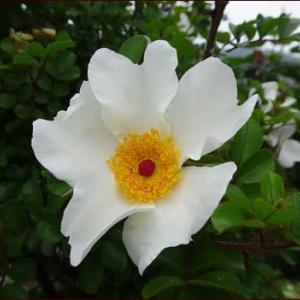 6月の白い花たち★オレンジ色のカモミール