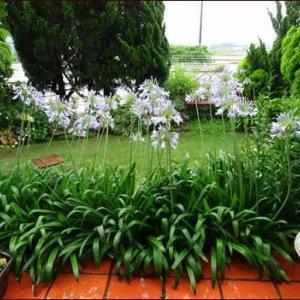 雨の中で咲く花たち★ルリマツリの思い出