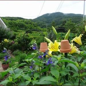 KUMA花壇★地植えのハイビスカス咲く