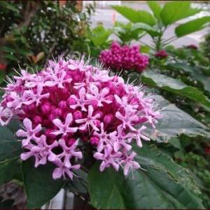 ブッラクベリー色づく★ボタンクサギ開花