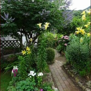 珍しい植物・チーゼル★梅雨の庭より
