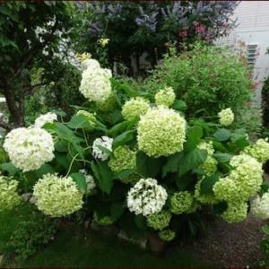 グリーンのアナベル★玄関前花壇のビフォー・アフター