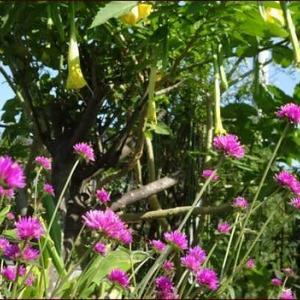 エンジェルストランペット咲く★正ちゃんに庭のお花を
