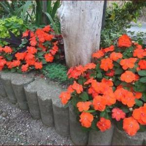 ブランドビオラを地植え★コクリュウの花は何色?