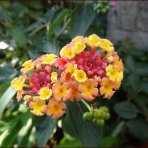 庭の植物で作るXmasスワッグ