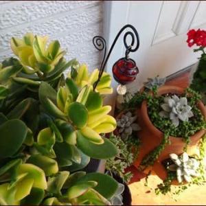 テラスの鉢植えたち★南天で作るお正月リース1