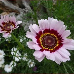 可愛い花輪菊★希望のガーデニング