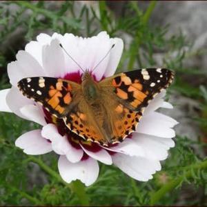 花と蝶★アーチのクレマチス