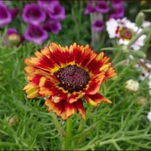 オレンジ色のハナワギク★次の季節の花たち