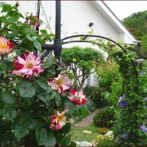 夏に向けた花苗(1)★ピンクの小道★バラとクレマチス