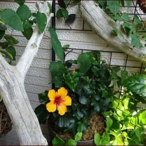 レインリリー★秋まで楽しむ夏の寄せ植え2
