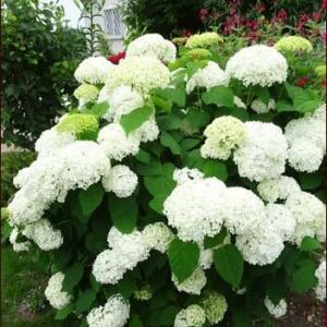 アナベルの庭2<花たちのコラボ>