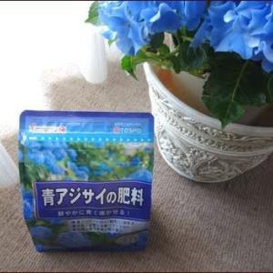 赤・青専用アジサイ肥料★西洋ニンジンボク咲く