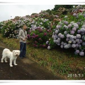 夕暮れの白い花たち★ネペタ咲く