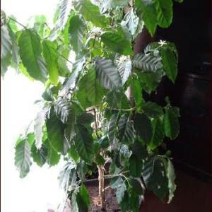 コーヒーの花が咲いた★スマホ教室