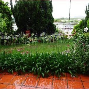 オリヅルランの花★モナルダを植える