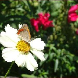 暑さの中で咲くバラとユリ