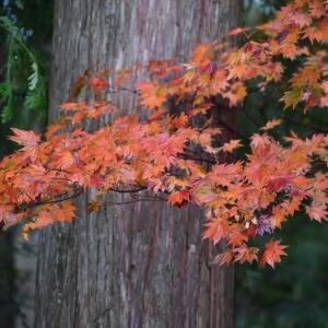 福崎公園で見かけた 小さな小さな紅葉