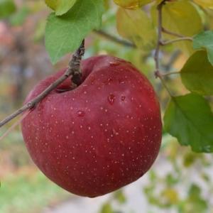 高山市久々野町のリンゴ
