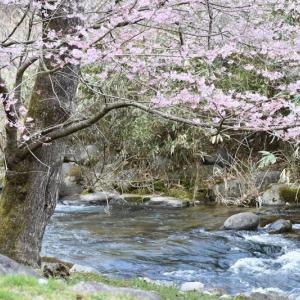 福崎公園の桜が咲く