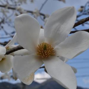 薬用植物 「コブシ」の花が咲きました