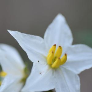 「ワルナスビ」、可愛い花です