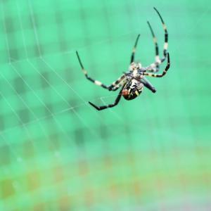 「女郎蜘蛛」の網張り