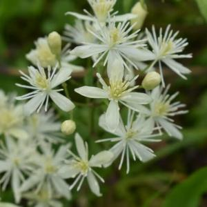 河原で咲き乱れるボタンズルの花