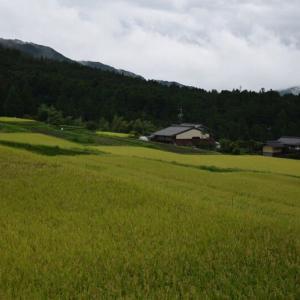 強烈な風雨と当地の稲田です