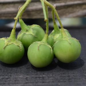 ジャガイモの果実?が生りました