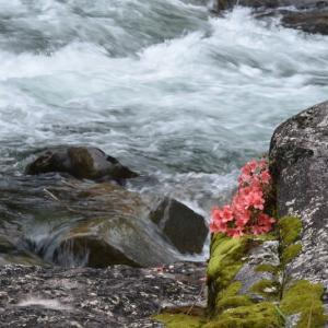 白川の岩場に咲く「さつき」