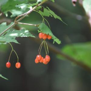 福崎林道で見た木の実