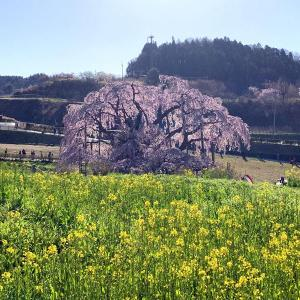 三春滝桜をみに行って来ました