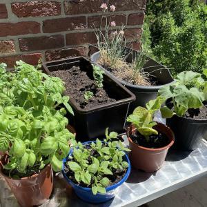 我が家のベランダ菜園
