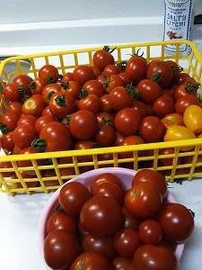 採れるのは・・・トマト