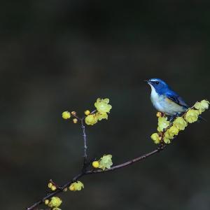蝋梅の木の上で楽しそうなルリビタキ