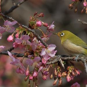 河津桜が大好き メジロ